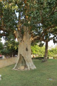 Zacheus's Tree